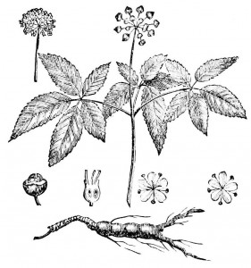 Ginseng Plant